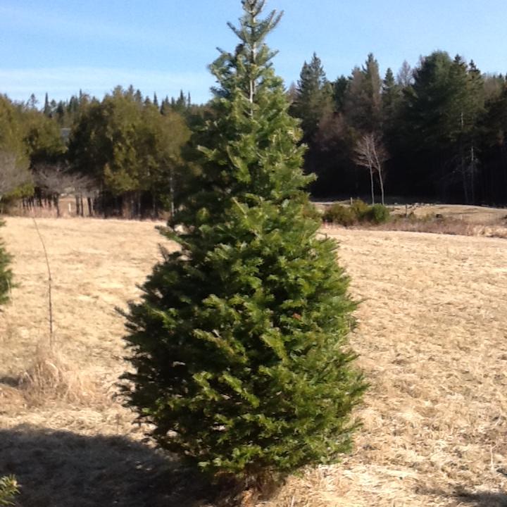 Balsam Fir - $3.10/Tree