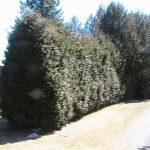 hedge row 10 yrs