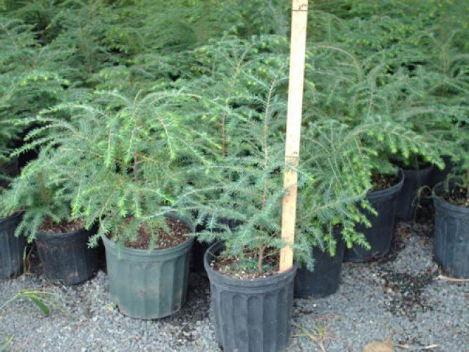 Hemlock Trees - Start at $10.42/Tree