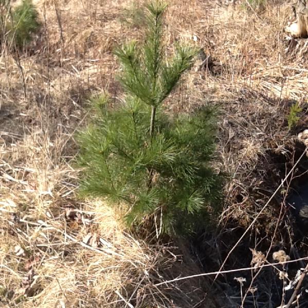 Pine Trees - Start at $10.42/Tree