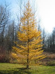 Tamarack Trees - Start at $10.42/Tree